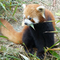 Mason Professor Continues Conservation Work with Red Pandas